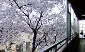 春は通路から桜を愛でることができます