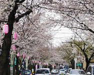さくら通り(春)