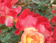 薔薇の香りに包まれて☆