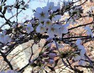 イハナハウス前の桜